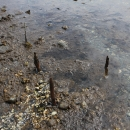 Fish trap stakes at Topaze Harbour